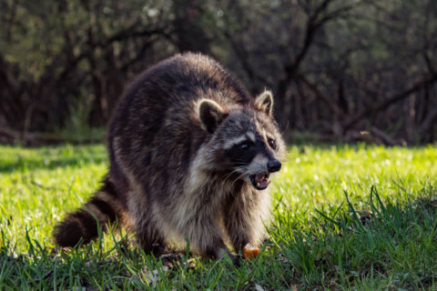 Tennessee raccoons to get vaccinated for rabies