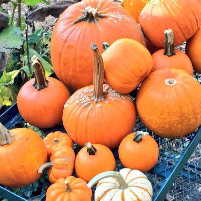 Leftover Halloween pumpkins. Last year, Agricity collected over four tons of pumpkins. (Courtesy Agricity)