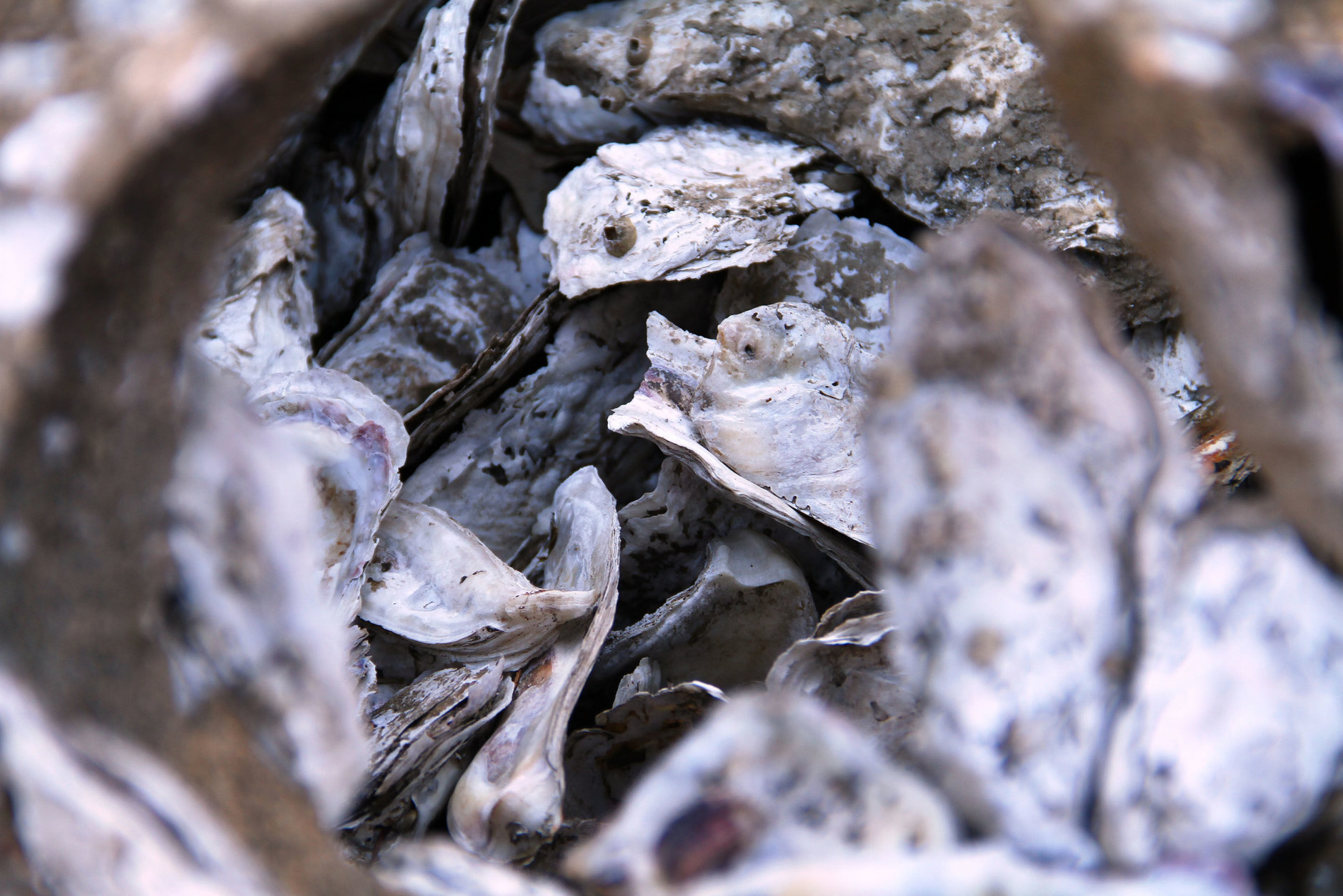 In coming months, harvests of Chesapeake Bay oysters may reflect effects from heavy summer rains. (Courtesy Chesapeake Bay Foundation/Jeanie Free)