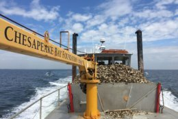 The Chesapeake Bay Foundation's oyster-planting vessel The Patricia Campbell plants 4 million oysters in the Little Choptank River Sanctuary on Maryland's Eastern Shore in this 2016 photo. (Courtesy, Chesapeake Bay Foundation/Emmy Nicklin)