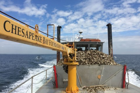 Time will tell if heavy summer rains hurt Chesapeake Bay oysters