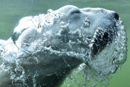 A polar bear blows bubbles as he swims through the water in an enclosure during warm late summer weather at the zoo in Gelsenkirchen, Germany, Tuesday, Oct. 16, 2018. (AP Photo/Martin Meissner)