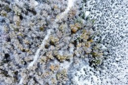 A grove of maple and aspen trees are coated with snow near Canyon, Minn., Friday, Oct. 5, 2018, after about two inches of wet snow fell overnight, coating the trees and mixing with fall colors. (Brian Peterson/Star Tribune via AP)
