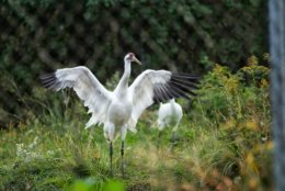 A male Whooping Crane stretches those broad wings. His mate is partially visible behind him. Whooping Cranes mate for life. (WTOP/Kate Ryan)