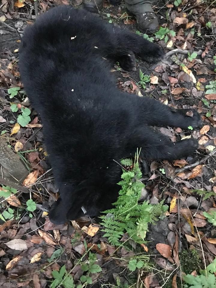 Luckily for the bear cub, Maryland Department of Natural Resources staff caught up to it and were able to remove the bucket. (Courtesy of Maryland Department of Natural Resources)