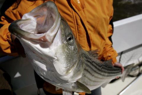 New regulations will limit striped bass catch next year