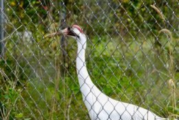 Whooping crane at Patuxent Wildlife Research Center (WTOP/Kate Ryan)