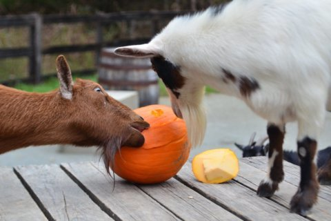 WATCH: Maryland zoo animals enjoy Halloween pumpkin treats