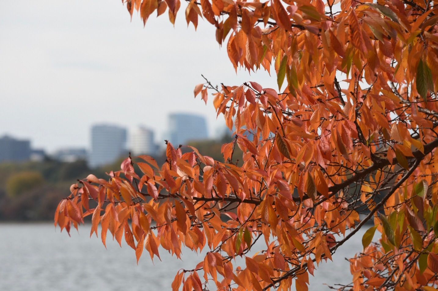 Fall foliage officially comes to the Tidal Basin. (WTOP/Dave Dildine)