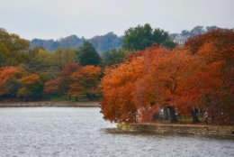The cherry trees around the Tidal Basin are most famous for their sea of pink petals in the spring time. But they also cloak the region in fiery oranges during peak fall foliage, too. (WTOP/Dave Dildine)