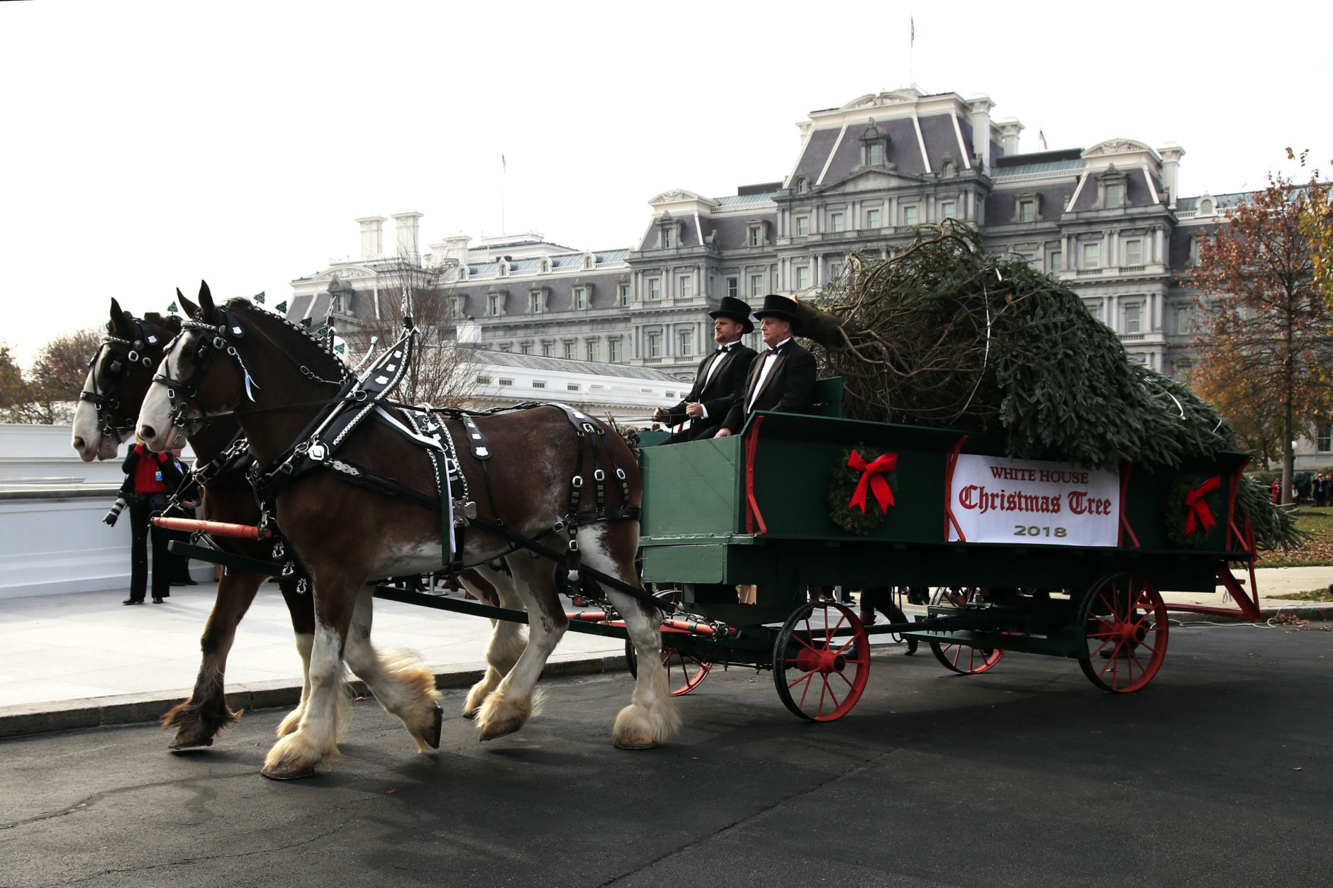 The White House Christmas Tree, presented to President Donald Trump and first lady Melania Trump by the Smith family of the Mountain Top Fraser Fir farm in Newland, N.C., arrives on a horse-drawn carriage on the North Lawn driveway of the White House, in Washington, Monday, Nov. 19, 2018. The North Carolina-grown 19 1/2-foot-tall Fraser Fir will be displayed in the Blue Room of the White House. (AP Photo/Manuel Balce Ceneta)