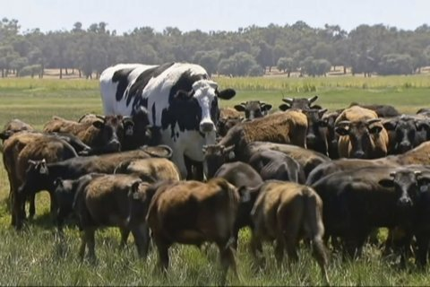 Steer too beefy to become burgers reprieved to life on farm