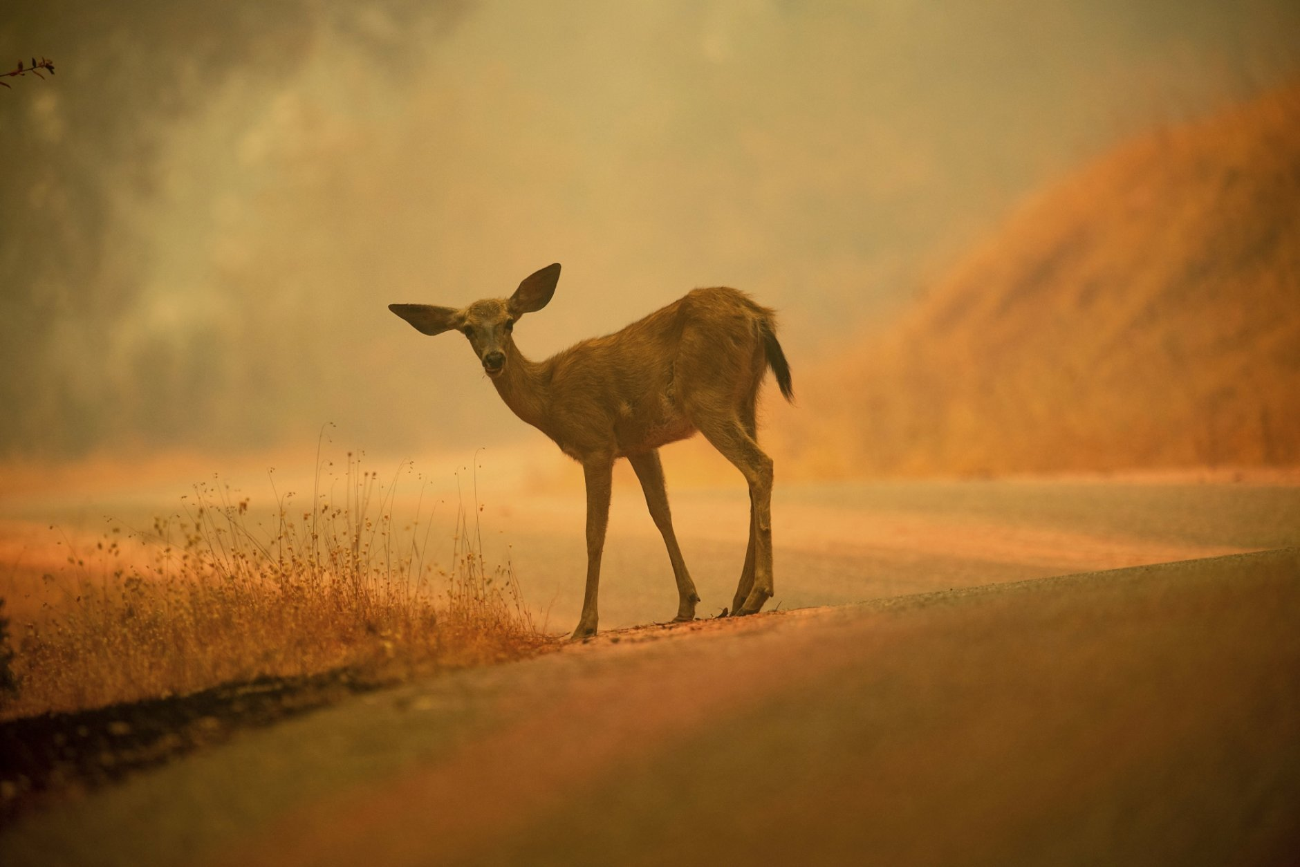 In this July 28, 2018, file photo, a deer grazes along a road covered in fire retardant as the Carr Fire burns near Redding, Calif. More than 80 families who lost their homes in California's deadly Carr Fire in July have learned weeks or months later that their dogs and cats had survived the deadly disaster. A network of about 35 volunteers, called Carr Fire Pet Rescue and Reunification, is responsible for many of the happy endings and continues to track and catch missing pets nearly two months after the fire was extinguished. (AP Photo/Noah Berger, File)