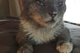 In this undated photo, a cat renamed Carrson is pictured with singed wingers and burnt ears, injuries he suffered in the Carr Fire in Redding, Calif. Carrson is one of hundreds of pets whose owners thought they were dead but actually survived the blaze.  (Courtesy of Linda Sigler via AP)