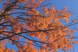 Twitter user Kim Ash took a picture of the crisp fall leaves on a tree in Arlington. (Courtesy @KimAshinArlVA)