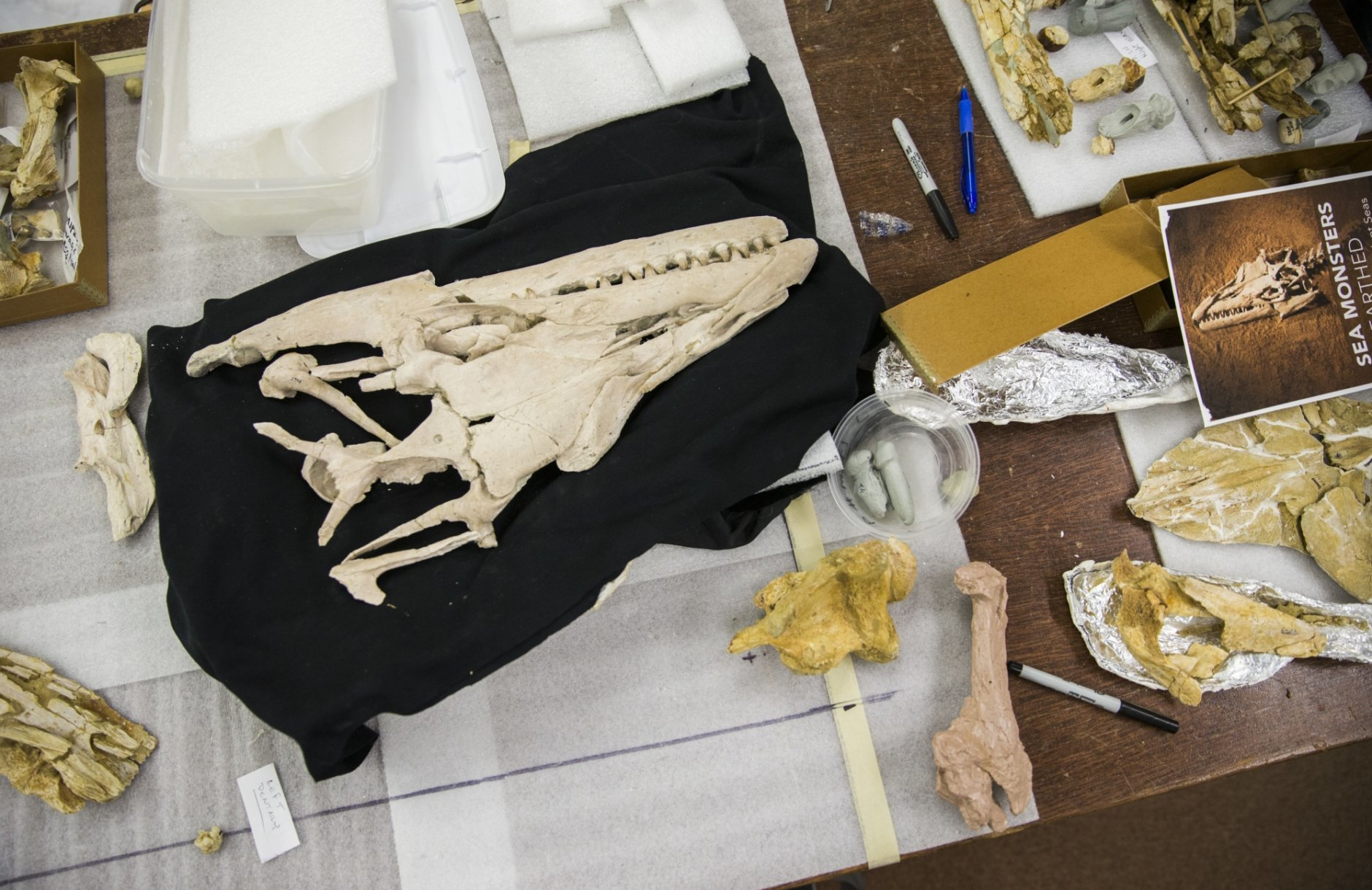 This Oct. 16, 2018 photo shows an Angolasaurus skull and other bones are being prepared by Professors of Paleontology Louis Jacobs and Michael Polcyn as part of a collection of Angolan mosasaurs, or extinct marine reptiles, for an exhibit at the Smithsonian  at SMU in Dallas. They and their team have uncovered remains in Angola for over a decade, and their work will be displayed at the Smithsonian for two years.    (Ashley Landis/The Dallas Morning News via AP)  /The Dallas Morning News via AP)