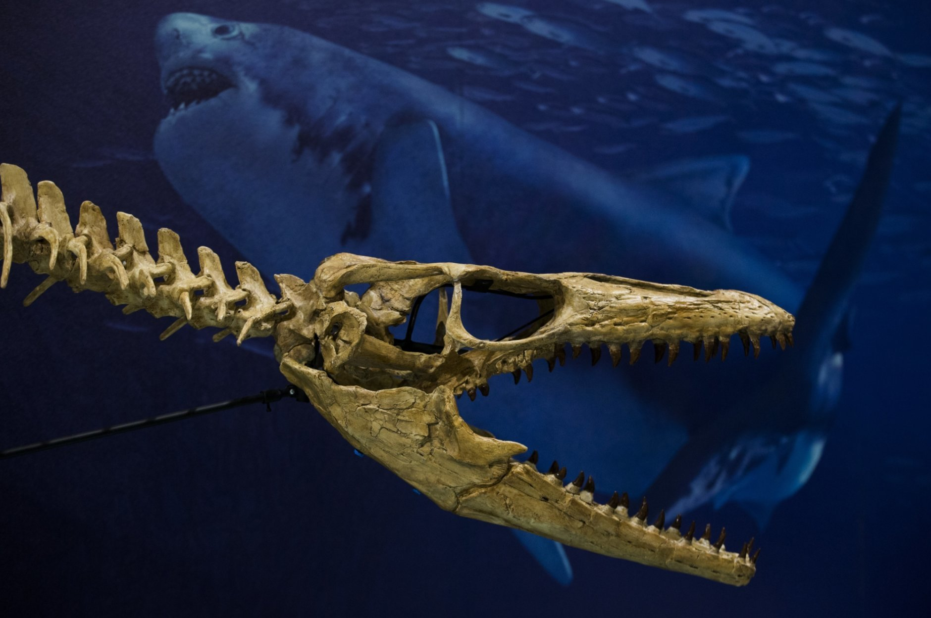 This Oct. 23, 2018 photo shows a recreated Prognathodon kianda skull in a Sea Monsters exhibit  at the Smithsonian National Museum of Natural History in Washington,. The exhibit features Angolan mosasaurs that SMU paleontologists Louis Jacobs and Michael Polcyn and their team have unearthed over the last decade.   (Ashley Landis/The Dallas Morning News via AP)