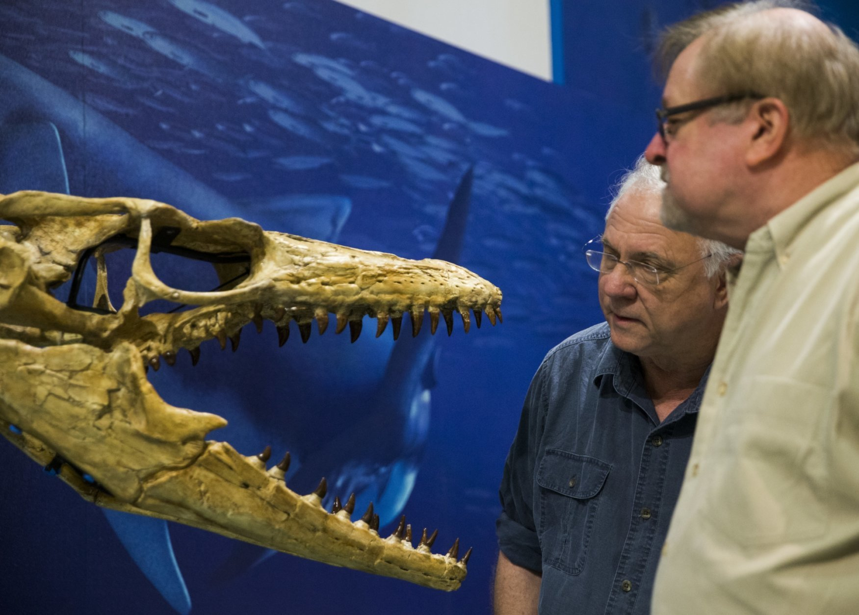 Dr. Louis Jacobs, center, professor emeritus of earth science and president of ISEM at SMU, and volunteer Wayne Furstenworth, right, talk about the exhibit of a Prognathodon kianda skeleton at their Sea Monsters exhibit on Oct. 23, 2018 at the Smithsonian National Museum of Natural History in Washington.  The exhibit features Angolan mosasaurs that they and their team have unearthed over the last decade.  (Ashley Landis /The Dallas Morning News via AP)