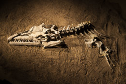 "The fossil skull and partial skeleton of mosasaur Angolasaurus bocagei excavated from Angola's costal cliffs for display in ""Sea Monsters Unearthed."" (Hillsman S. Jackson, Southern Methodist University)"
