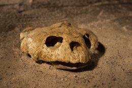 A fossil Euclastes sea turtle skull excavated from Angola's coastal cliffs. (Hillsman S. Jackson, Southern Methodist University)