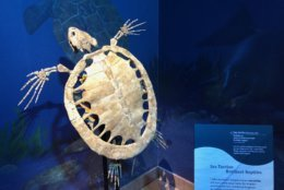 This is a new species of a turtle of the genus euclastes that was found at the locality. So newly discovered, it hasn't been named yet. Euclastes is an extinct genus of sea turtle. (WTOP/Kristi King)