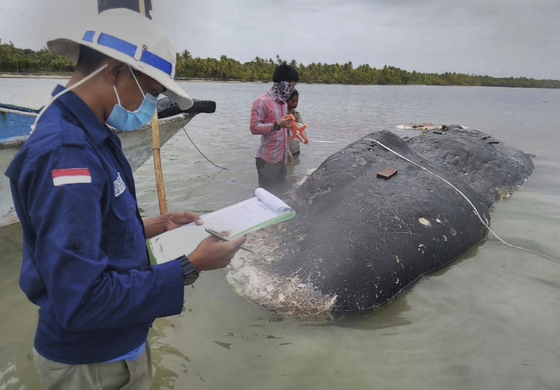 In this undated photo released by Akademi Komunitas Kelautan dan Perikanan Wakatobi (Wakatobi Marine and Fisheries Community Academy or AKKP Wakatobi), researchers collect data of the carcass of a beached whale at Wakatobi National Park in Southeast Sulawesi, Indonesia. The dead whale that washed ashore in eastern Indonesia had a large lump of plastic waste in its stomach, including drinking cups and flip-flops, a park official said Tuesday, causing concern among environmentalists and government officials in one of the world's largest plastic polluting countries. (Muhammad Irpan Sejati Tassakka, AKKP Wakatobi via AP)