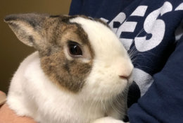 It's not all puppies and kittens — rabbits such as Swirl here would like a new home. Black Friday adoption events were held at shelters in the region, including the Animal Welfare League of Arlington. (WTOP/Kate Ryan)