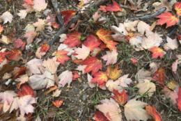 Fallen leaves (Courtesy Michael Sabino)