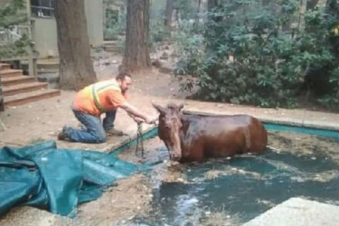 Man who lost home in California wildfire rescues mule found in swimming pool