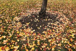 Leaves blanket the ground as fall foliage comes to the DC area. (Courtesy @TweetSukanya_