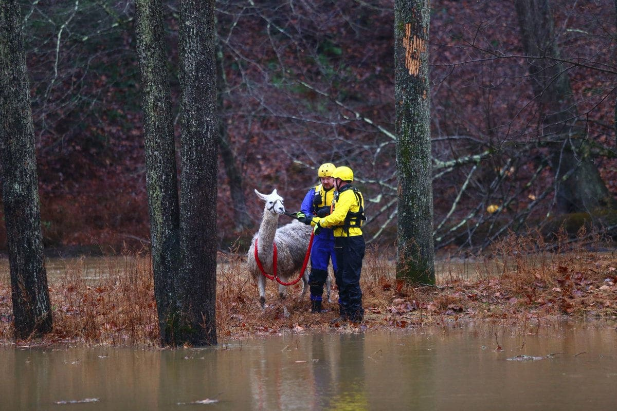 Howard County Fire and EMS crews saved a llama caught in flooded field near the Patuxent River in Highland, Maryland, Sunday Dec. 16. The rescue came after a weekend of record-setting rain. (Courtesy Howard County Fire and EMS)