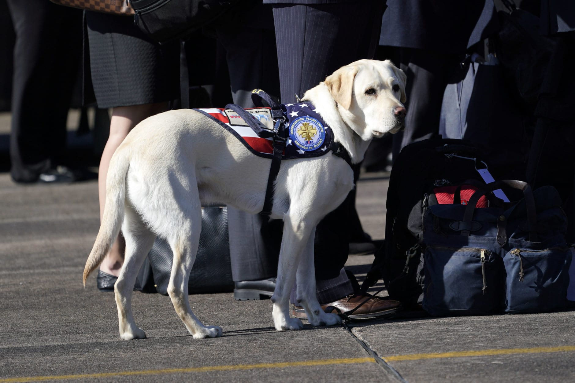 Sully, the yellow Labrador retriever who was former President George H.W. Bush's service dog during a departure ceremony at Ellington Field Monday, Dec. 3, 2018, in Houston. (AP Photo/David J. Phillip, Pool)