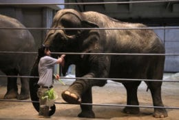 Elephant manager Marie Galloway feeds 70-year-old Asian elephant Ambika at the Smithsonian's National Zoo in Washington, Monday, Dec. 31, 2018. In the event of a prolonged government shutdown and zoo closes, the zoo keepers will be working unpaid. (AP Photo/Manuel Balce Ceneta)