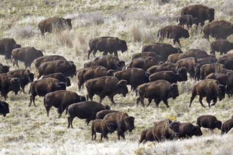 AP PHOTOS: Bison roundup conjures bygone days of US West