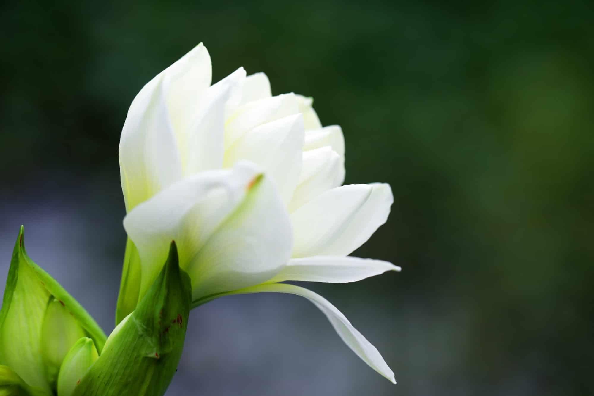 close up of white amaryllis flower background