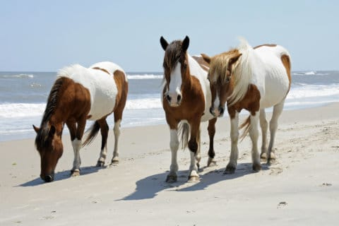 Officials euthanize last 4 wild ponies with 'swamp cancer'