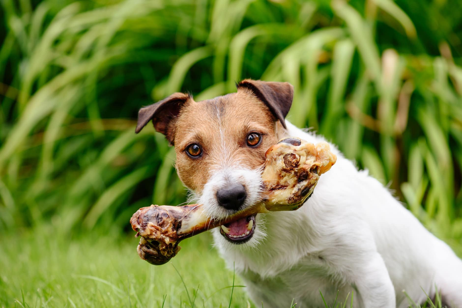 Jack Russell Terrier holdings in mouth big bone