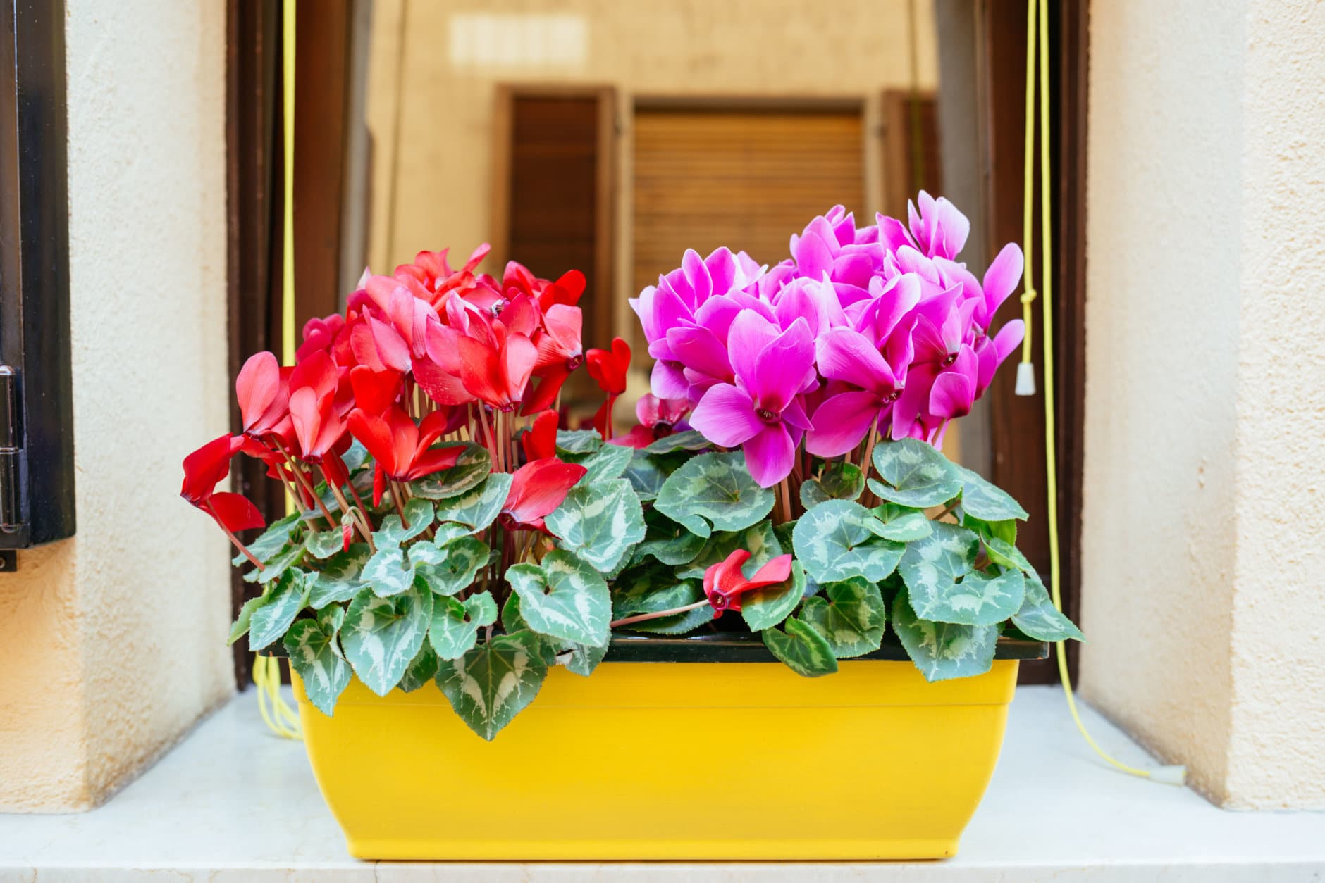 Flower pot with red and pink bright cyclamen on the .indow sill.