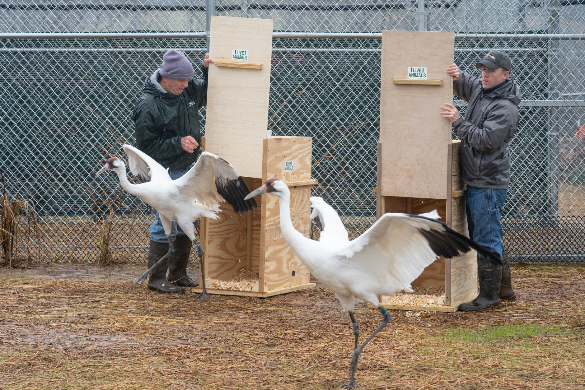 Whooping Cranes arriving at the Smithsonian Conservation Biology Institute in Front Royal, Virginia. (Courtesy Skip Brown, SCBI)