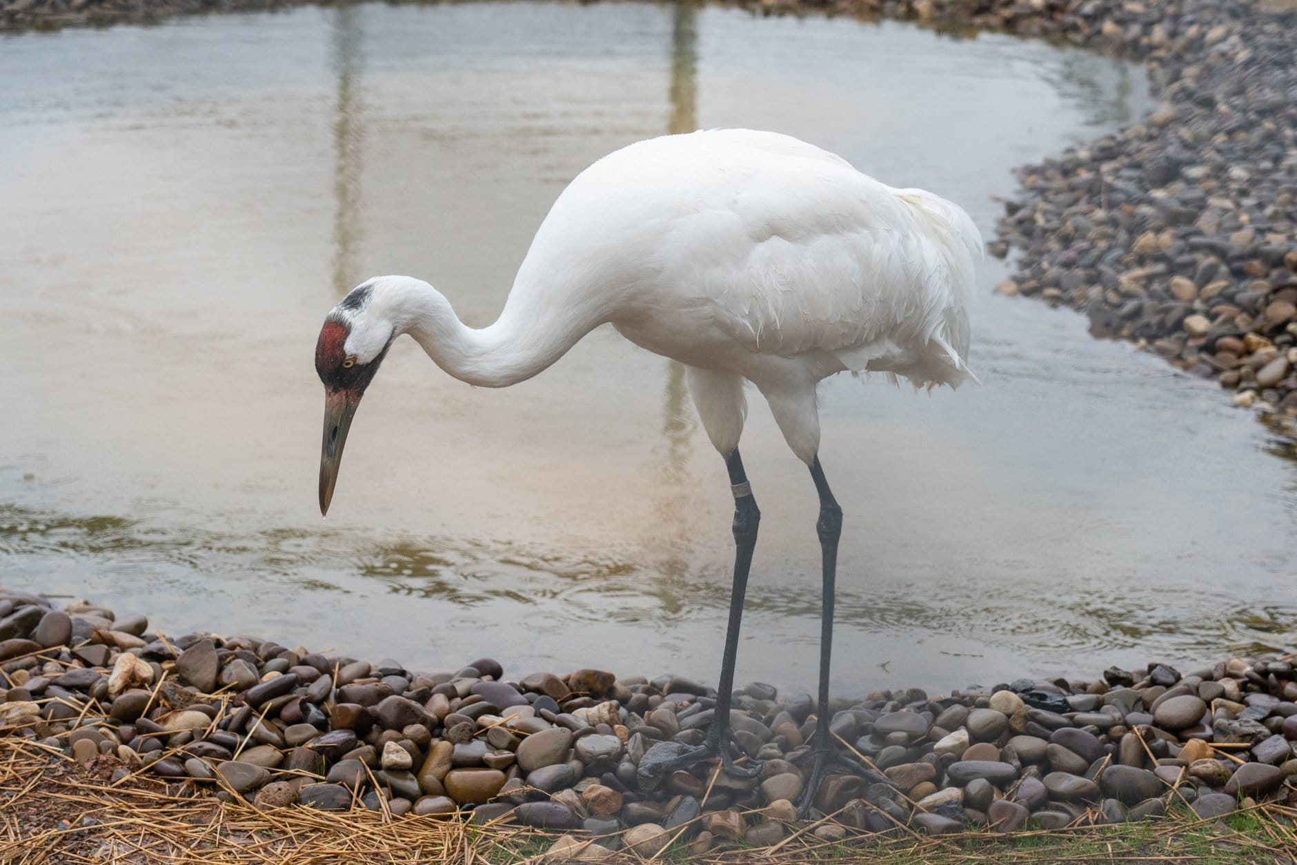 A Whooping crane at the Smithsonian Conservation Biology Institute. (Photo by Skip Brown, SCBI)