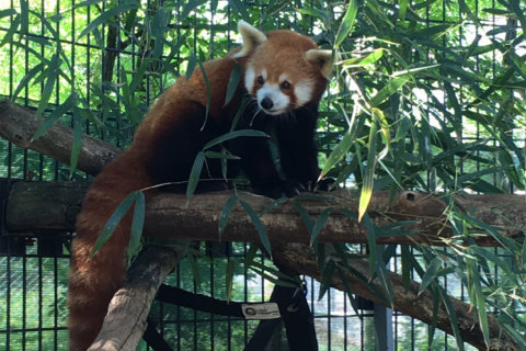 National Zoo announces unexpected death of 4-year-old red panda