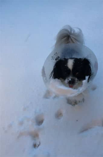 Jackie Dustin of Stafford sent this photo of her small dog dealing the the snow, and a cone. (Courtesy Jackie Dustin)