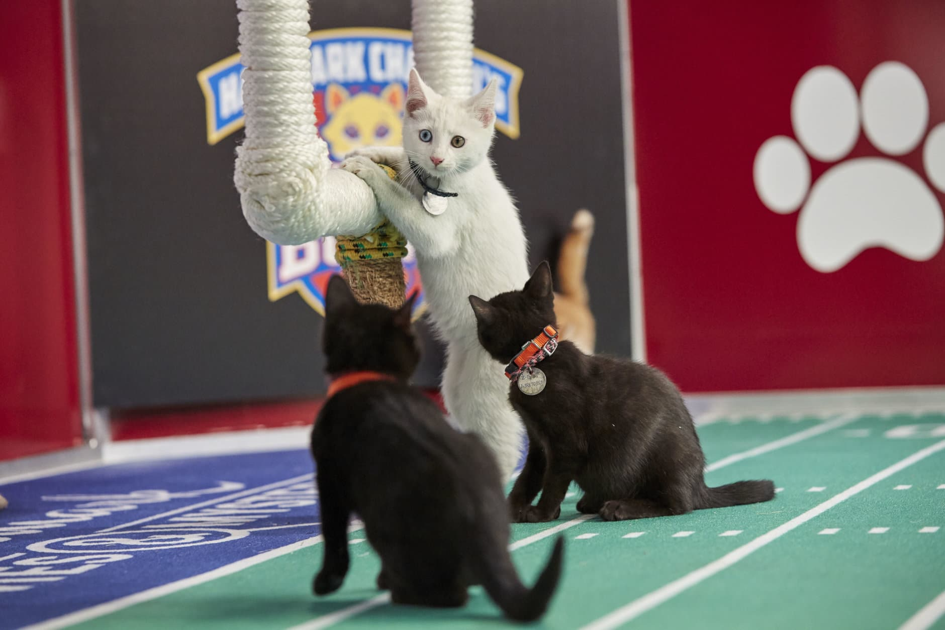 """""""Kitten Bowl"""" is a feline catstravaganza presented in association with North Shore Animal League America (the nation's largest no-kill shelter and animal adoption organization) and Last Hope Animal Rescue and Rehabilitation. Hosted by Beth Stern, TV personality and national spokesperson for North Shore Animal League America.  (Courtesy Crown Media United States LLC/Keith MacDonald)"""