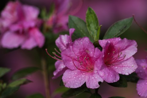 Itching to prune your azalea bush now? Not so fast