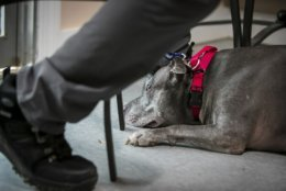 In this Jan. 8, 2019 photo, Pete Buchmann walks past a new dog he is fostering named Mateo after his dog, Buster, died, in Elsmere, Del. Buchmann, who used to be homeless once walked 5 miles daily to visit Buster at Faithful Friends Animal Society, where he entrusted the dog to.   (Suchat Pederson/The News Journal via AP)