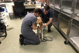 Now, the Humane Rescue Alliance said the dog has been treated for severe injuries and the man has been arrested this week. (Courtesy Humane Rescue Alliance)
