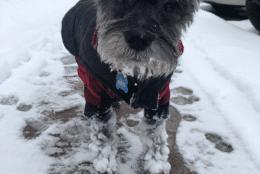 Kiko, from Woodbridge, Virginia, is up to snow good! (Courtesy Kim Phan)