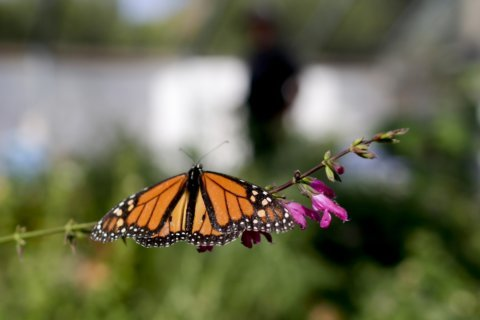 Count finds sharp drop in monarch butterflies in California