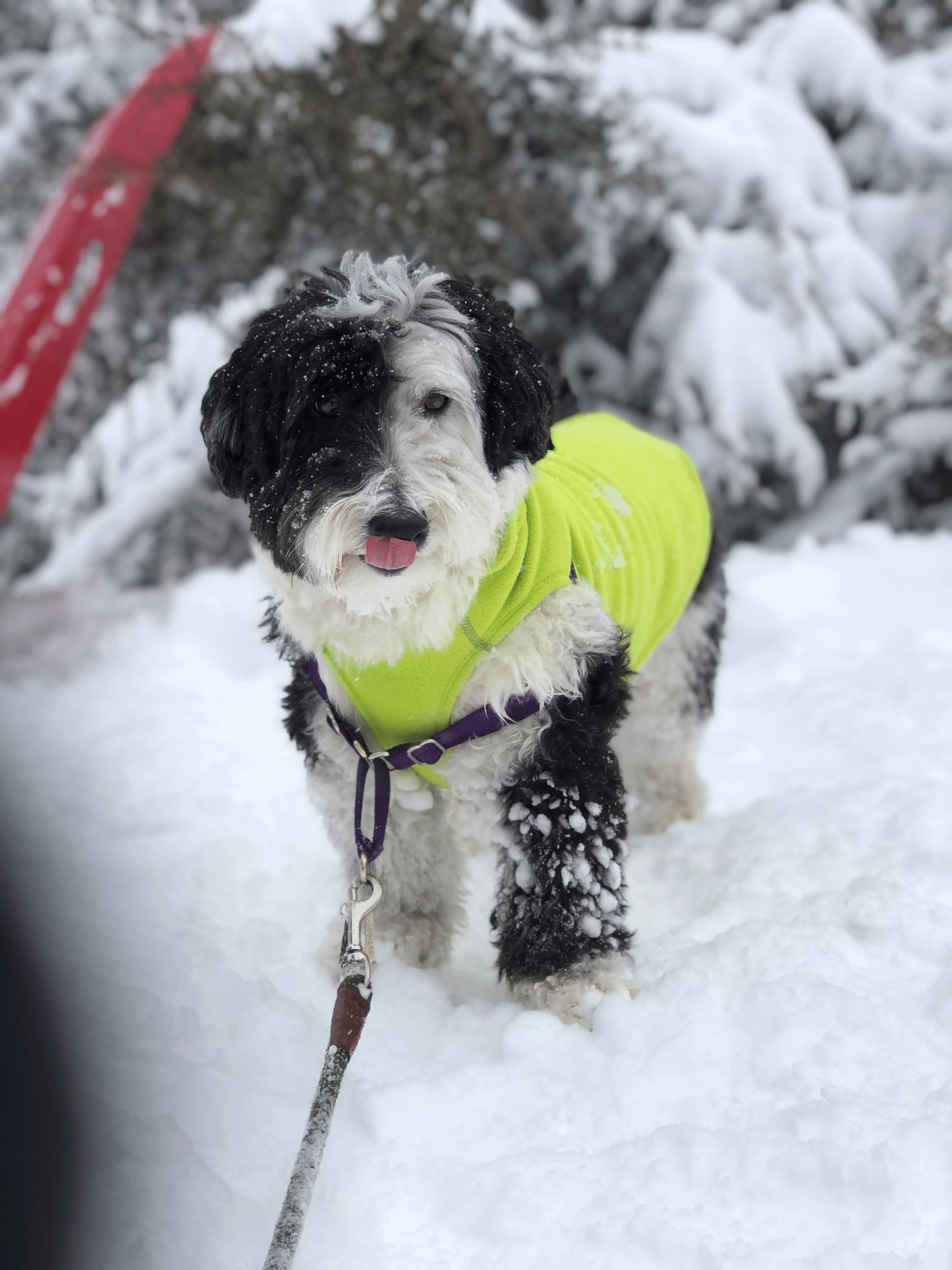 Meet Bear the Sheepadoodle, enjoying his time outdoors in Silver Spring. That area of Maryland saw over 10 inches of snow. (Courtesy Rachel Rushforth)