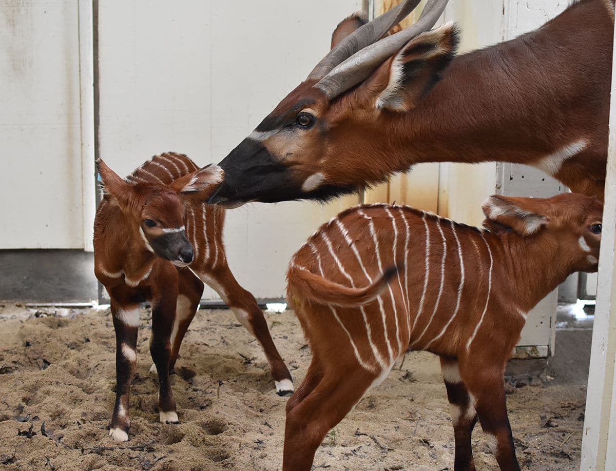 Two Eastern bongos went into labor around the same time and welcome two baby bongos the day after Christmas. (Courtesy Virginia Zoo)